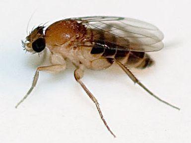 Megaselia scalaris FileMegaselia scalaris 2jpg Wikimedia Commons