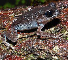 Megophryidae httpsuploadwikimediaorgwikipediacommonsthu