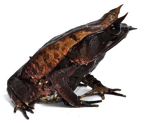 Megophryidae Megophryidae
