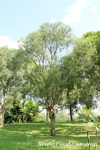 Melaleuca cajuputi Flora Fauna Web Plant Detail Melaleuca cajuputi Powell