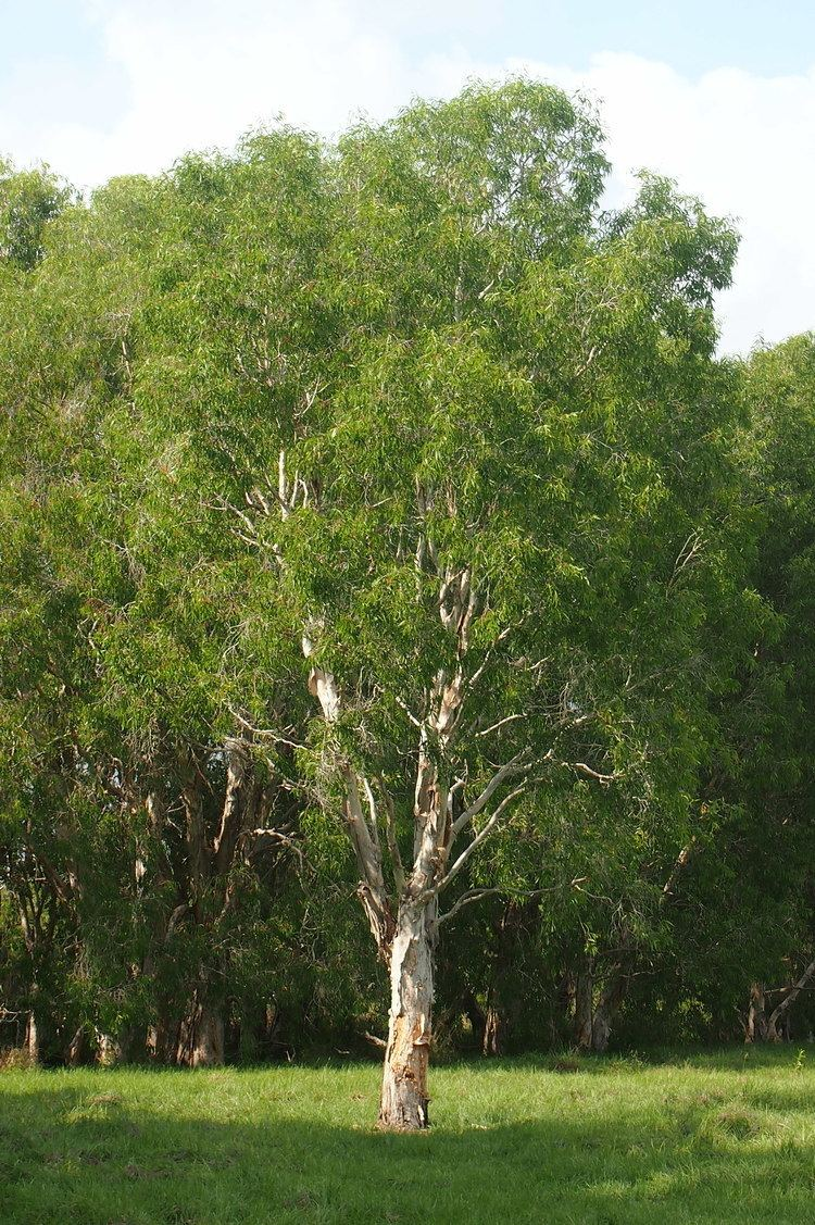 Melaleuca leucadendra uploadwikimediaorgwikipediacommons00dMelale
