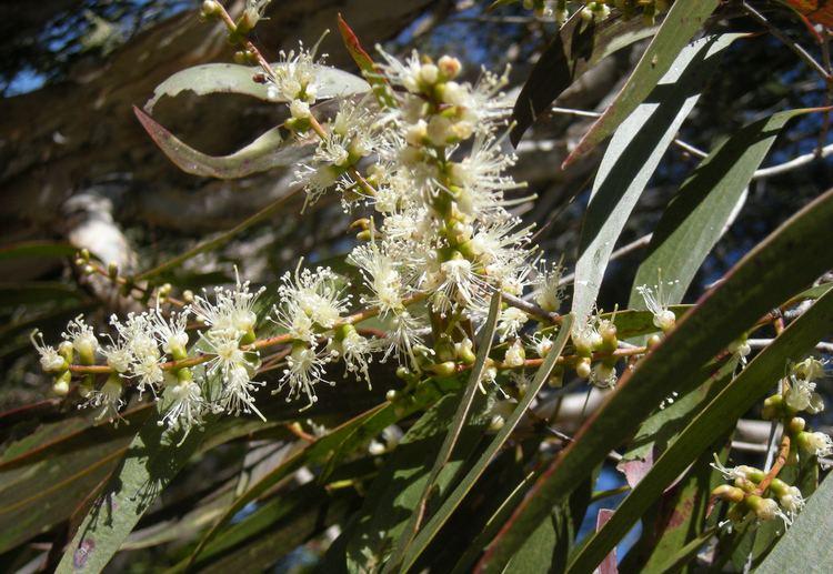 Melaleuca leucadendra Melaleuca leucadendra Simple English Wikipedia the free encyclopedia
