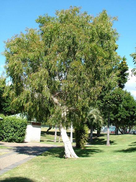 Melaleuca leucadendra Melaleuca leucadendra Care Transplanters Sunshine Coast Brisbane