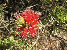 Melaleuca pearsonii httpsuploadwikimediaorgwikipediacommonsthu