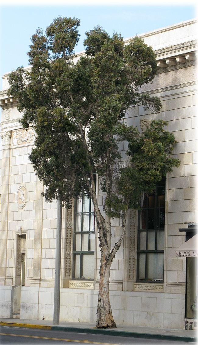 Melaleuca quinquenervia UFEI SelecTree A Tree Selection Guide