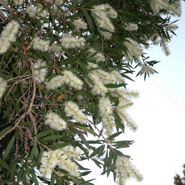 Melaleuca quinquenervia Melaleuca quinquenervia Noosa39s Native Plants