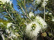 Melaleuca rhaphiophylla httpsuploadwikimediaorgwikipediacommonsthu