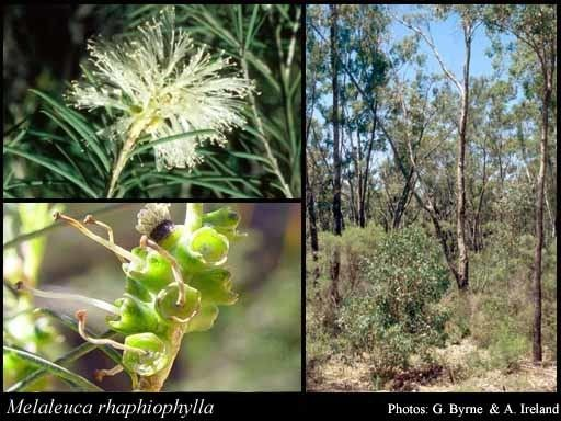 Melaleuca rhaphiophylla Melaleuca rhaphiophylla Schauer FloraBase Flora of Western Australia