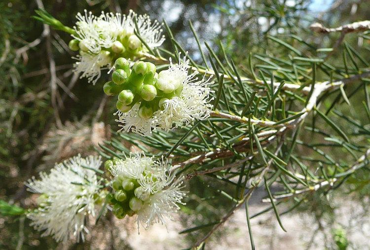 Melaleuca rhaphiophylla Melaleuca rhaphiophyllaFriends of Queens Park Bushland Friends of