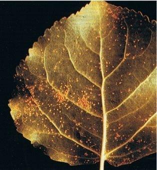 Melampsora medusae NZ Farm Forestry Poplar leaf rusts caused by Melampsora spp