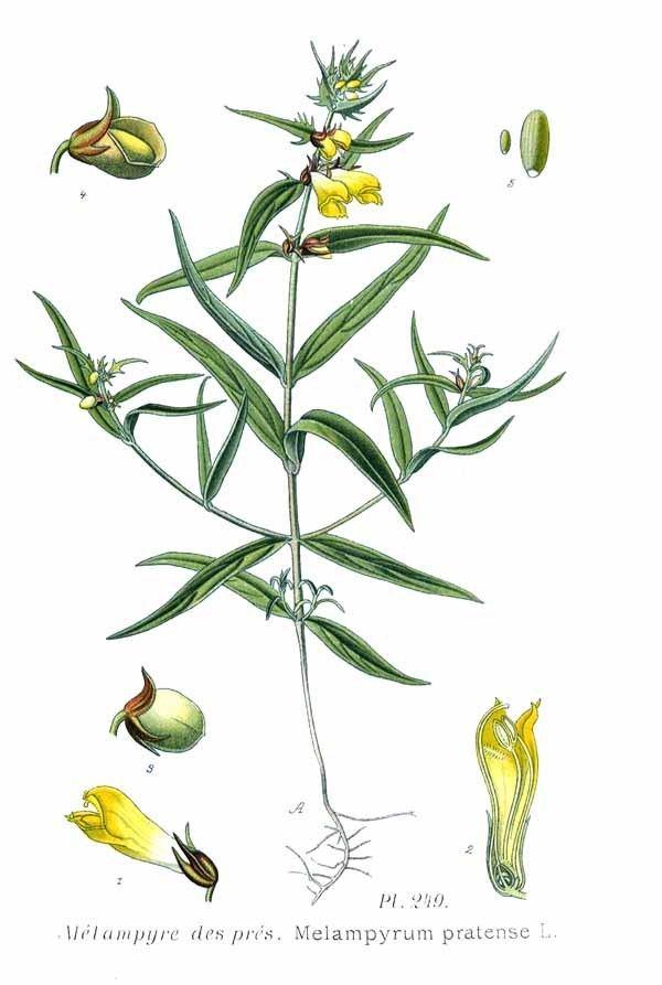 Melampyrum pratense File249 Melampyrum pratense Ljpg Wikimedia Commons
