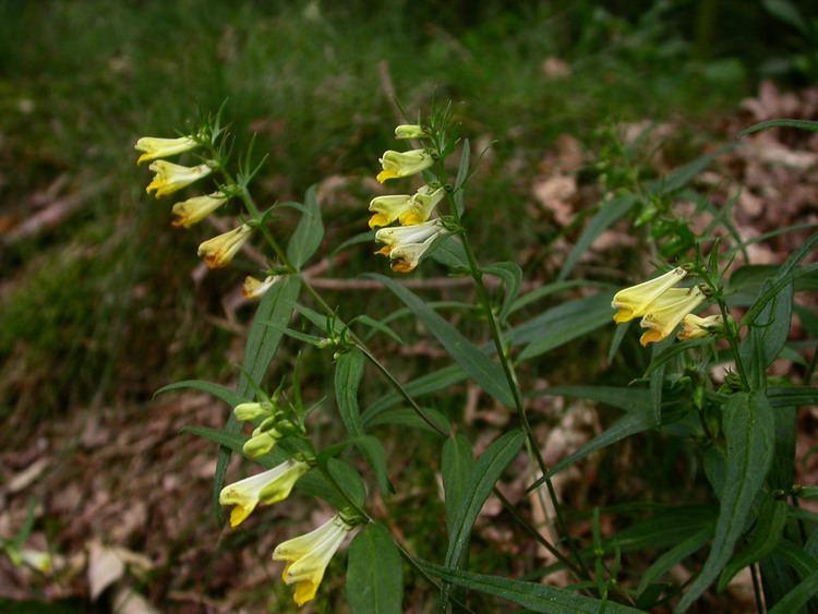 Melampyrum pratense Melampyrum pratense Orobanchaceae image 20788 at PhytoImagessiuedu