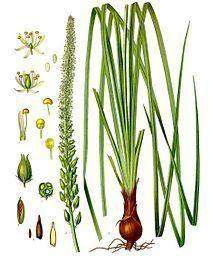 Melanthiaceae Melanthiaceae Wikipedia