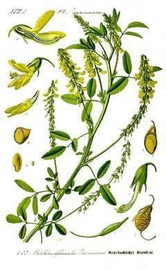 Melilotus officinalis Melilotus officinalis Melilot Sweetclover PFAF Plant Database