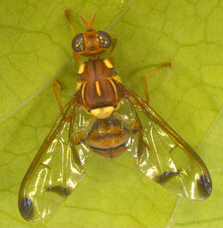 Melon fly wwwnbairresininsectpestsimagesBactroceracuc