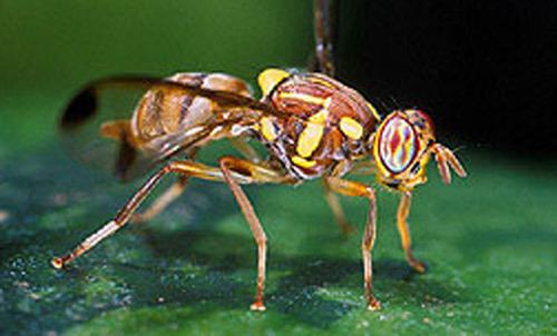 Melon fly mango fruit fly Ceratitis cosyra Walker