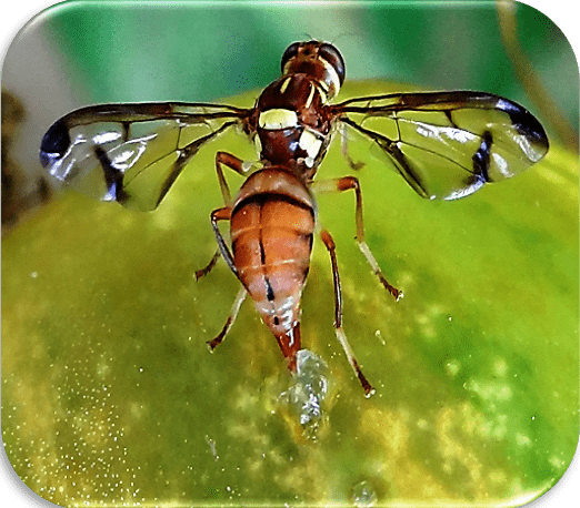 Melon fly Picture Gallery MELON FRUIT FLY OVIPOSITING ON CUCUMBER