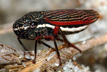 Membracoidea tolweborgtreeToLimagesCuernalateralis1366064