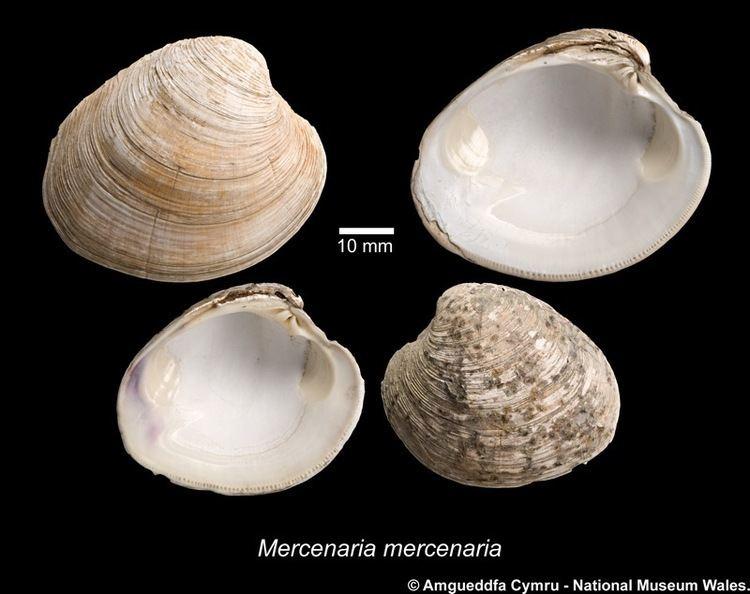 Mercenaria Mercenaria mercenaria Linnaeus 1758 Marine Bivalve Shells of