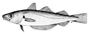 Merlangius FAO Fisheries amp Aquaculture Species Fact Sheets Merlangius