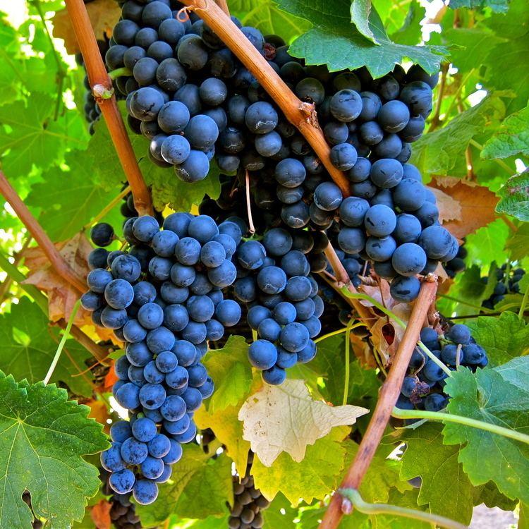 Merlot Wine of the Month Merlot Backsberg