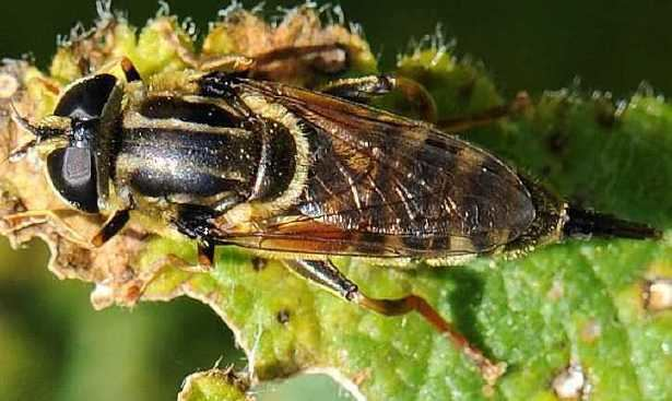 Merodon Merodon avidus Hoverfly