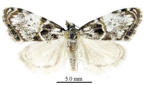 Metaeuchromius glacialis