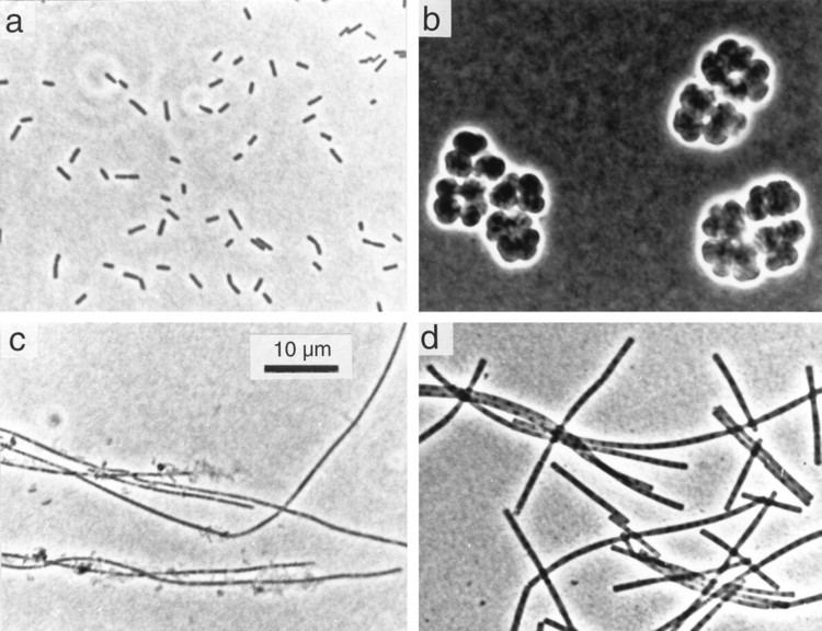 Methanosaeta Diversity and Structure of the Methanogenic Community in Anoxic Rice