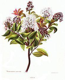 Metrosideros albiflora httpsuploadwikimediaorgwikipediacommonsthu
