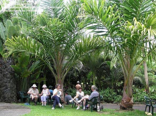 Metroxylon vitiense Metroxylon vitiense Palmpedia Palm Grower39s Guide