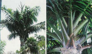 Metroxylon vitiense Palm Program Executive Summary