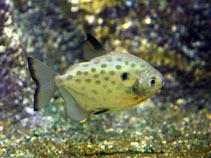 Metynnis lippincottianus wwwfishbaseusimagesthumbnailsjpgtnMelipu1jpg