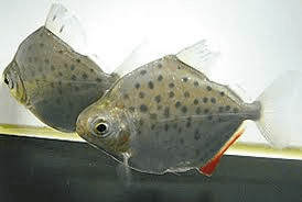 Metynnis lippincottianus Spotted Silver Dollar Metynnis Lippincottianus Tropical Fish Site