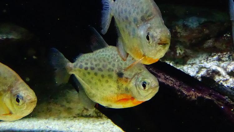 Metynnis lippincottianus FileMetynnis lippincottianus AquaPorteDoree 02JPG Wikimedia