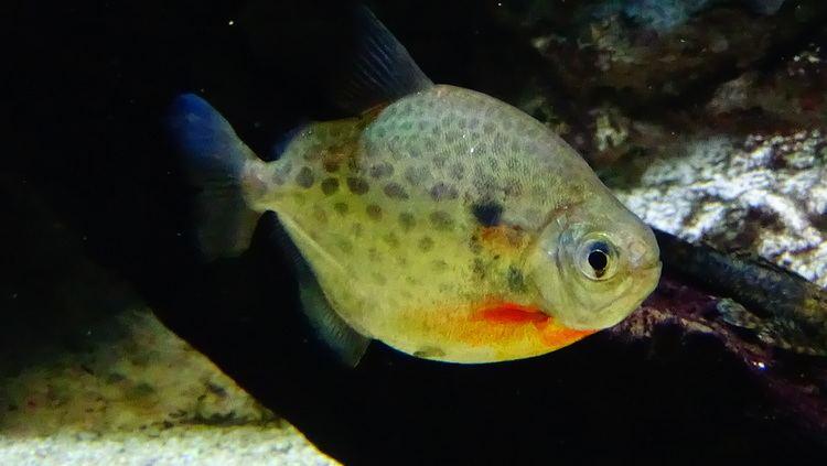 Metynnis lippincottianus FileMetynnis lippincottianus AquaPorteDoree 01JPG Wikimedia