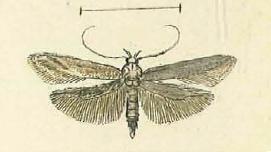 Metzneria tenuiella