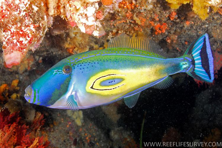 Meuschenia hippocrepis fishesofaustralianetauimagesimageMeuscheniaHi