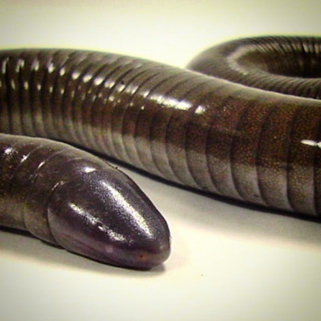 Mexican burrowing caecilian Frogs Need Our Help Frog Blog of The Amphibian Foundation
