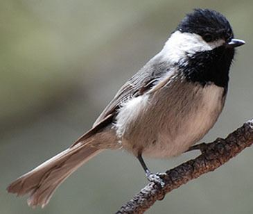 Mexican chickadee Mexican Chickadee Poecile sclateri Planet of Birds