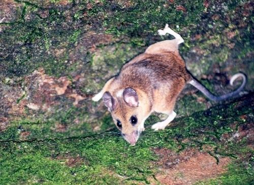 Mexican deer mouse httpsstaticinaturalistorgphotos347233mediu