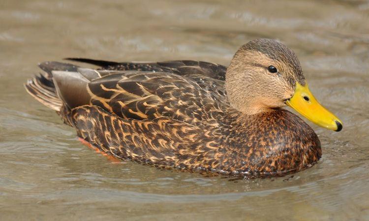 Mexican duck Utah Birders Birding Blog Utah Birds Utah Birding Utah Bird ID