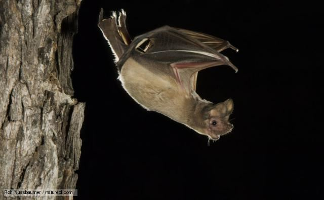 Mexican free-tailed bat BBC Nature Mexican freetailed bat videos news and facts