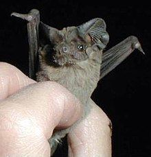 Mexican free-tailed bat Mexican freetailed bat Wikipedia