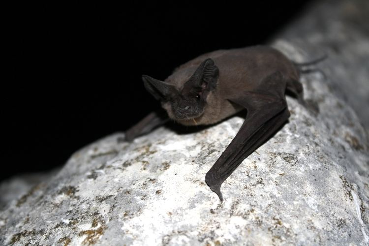 Mexican free-tailed bat Free Tailed Bats Lessons TES Teach