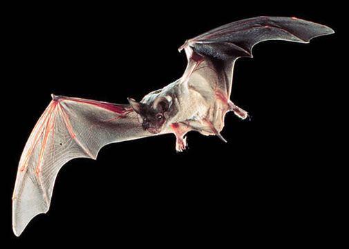 Mexican free-tailed bat wwwstatesymbolsusaorgsitesstatesymbolsusaorg