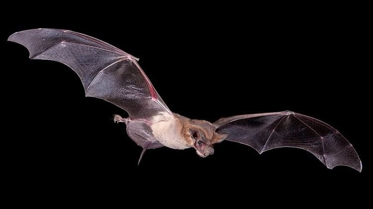 Mexican free-tailed bat Mexican FreeTailed Bats Arizona Highways