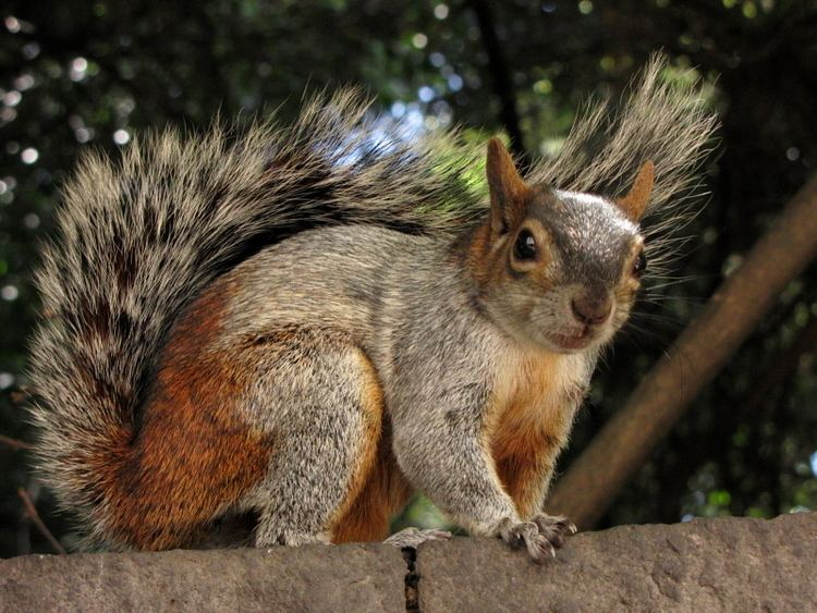 Mexican gray squirrel Mexican Gray Squirrel Wild Rodentia Pinterest Mexicans