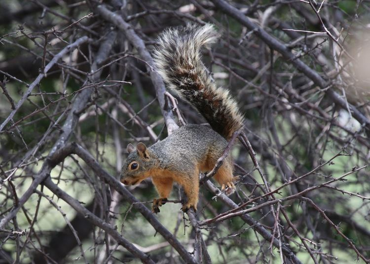 Mexican gray squirrel The Azure Gate Chiricahua Mountains no bears but