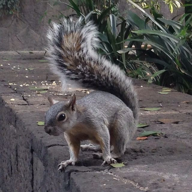 Mexican gray squirrel Mexican Bites Sciurus aerogaster otherwise known as the