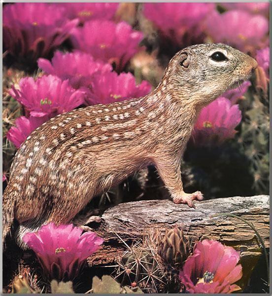 Mexican ground squirrel 2bpblogspotcomAtPTYM8vhB4TyvCt4F7P8IAAAAAAA